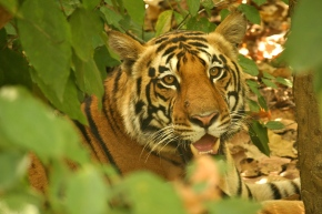 Tiger at Kanha