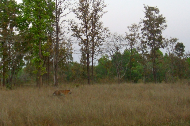 Tigress in Kanha
