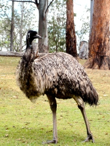 Emu at Lone Pine Koala Sanctuary Brisbane