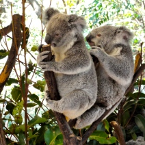 Koalas at Lone Pine Koala Sanctuary Brisbane