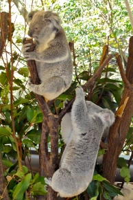 Koalas to cuddle at Lone Pine Koala Sanctuary Brisbane