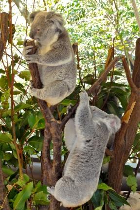 Koalas to cuddle at Lone Pine Koala Sanctuary Brisbane