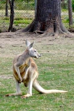 Kangaroo at Lone Pine Koala Sanctuary Brisbane