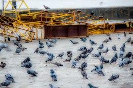 Pigeons at Gateway of India