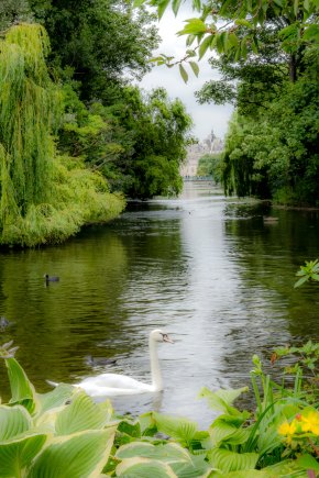 Swans in St. James's Park
